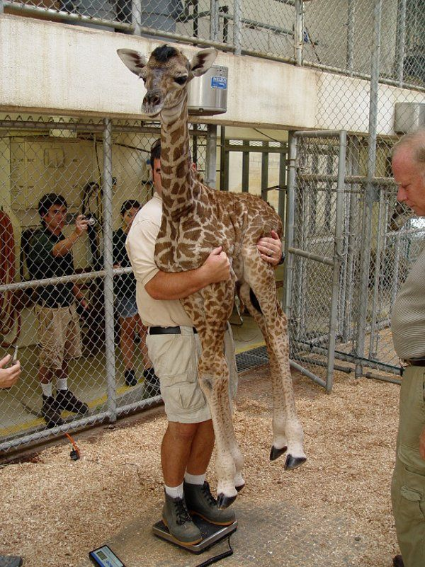 This is how you weigh a baby giraffe