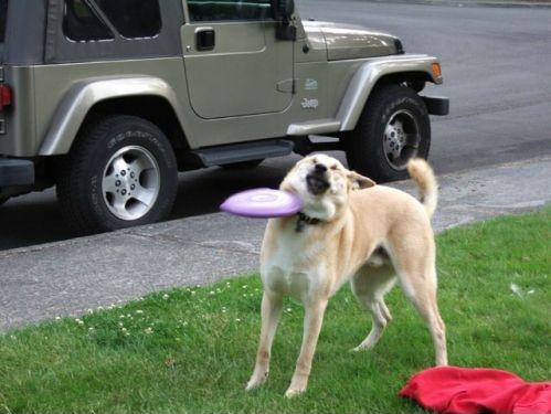 #Fail: This dog sucks at playing frisbee!