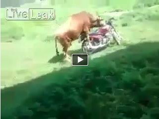 #Cow rides the bike!