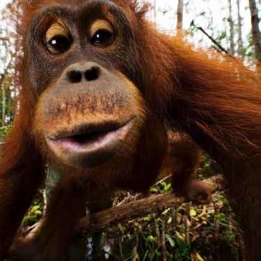 Borneo's orangutan by Mattias Klum