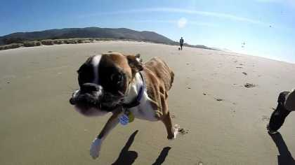 Two Legged #Dog 'Duncan Lou Who' Running on the Beach!