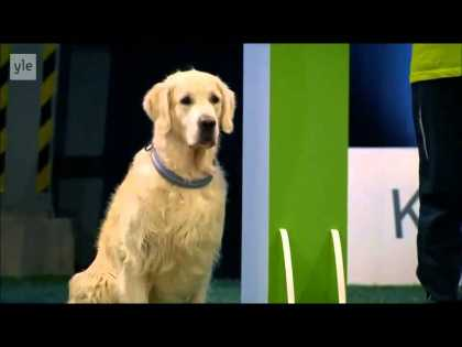Watch This Golden Retriever Hilariously Lose The Competition...