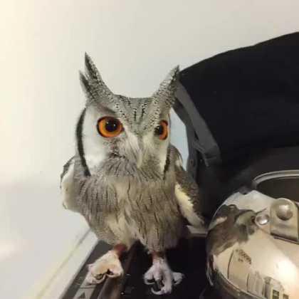 Owl can be an adorable pet...