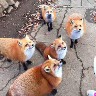 Skulk of #Foxes