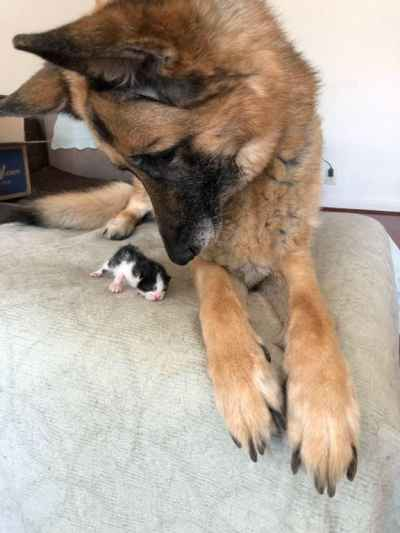 Big #pupper watches over tiny kitty ❤️