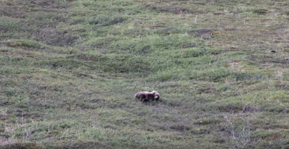 A Grizzly Bear Provides Entertainment To Tourists By Rolling Down The Hill