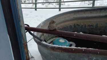 Sparrow frozen to fence says thank you after being freed