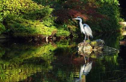 A Grey Heron   #photography #birds