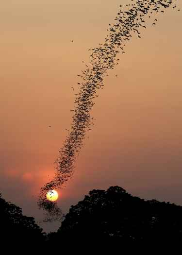 Beautiful Photo of Bats Flying Through The Sunset