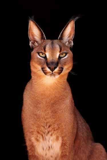 Majestic Caracal