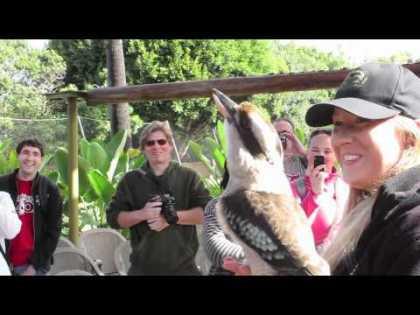 #Funny: Laughing Kookaburra | #animals #birds
