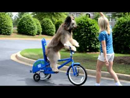 Dog rides a bike... Norman The #ScooterDog #Dogs