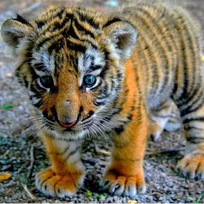 Cute Baby Tiger #aww
