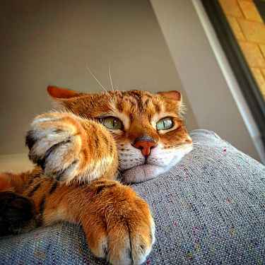 This Bengal Cat is living the life...