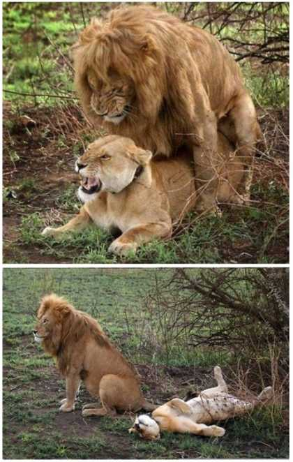This lion shows you how to do it... #lol