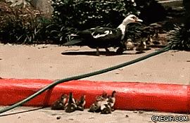 Help them duck chicks #aww