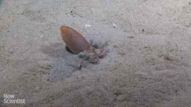 How #Octopus Bury Itself In Seafloor