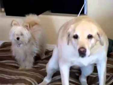Labrador dog attacks a shitzu on the face with his wagging tail... #FunnyVideos