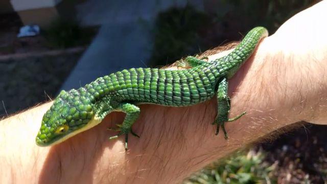 Dancing Mexican Alligator #Lizard